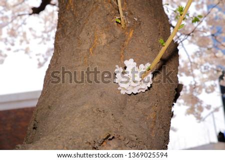 Spring Cherry Blossom #1369025594
