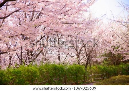 Spring Cherry Blossom #1369025609
