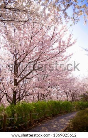 Spring Cherry Blossom #1369025612