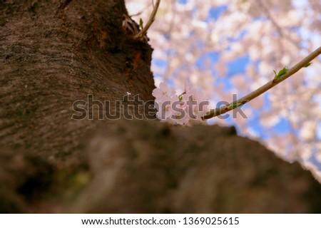 Spring Cherry Blossom #1369025615