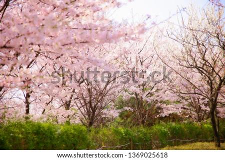 Spring Cherry Blossom #1369025618