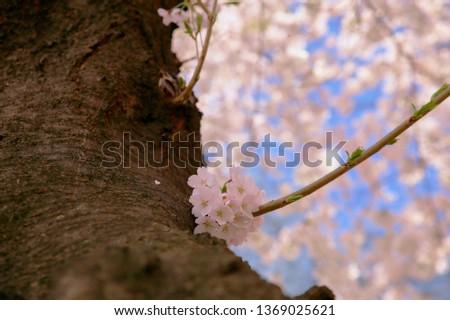 Spring Cherry Blossom #1369025621