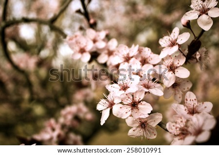 Spring cherry blossom Background royalty free stock photo for greeting card, ad, promotion, poster, flier, blog, article, social media, marketing