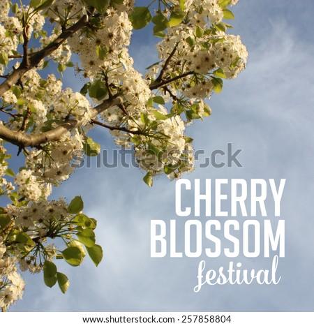 Spring cherry blossom festival Background royalty free stock photo for greeting card, ad, promotion, poster, flier, blog, article, social media, marketing, florist, garden center, gardening, nursery