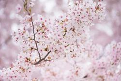 Spring cherry blossom in full bloom, Abstract sakura background
