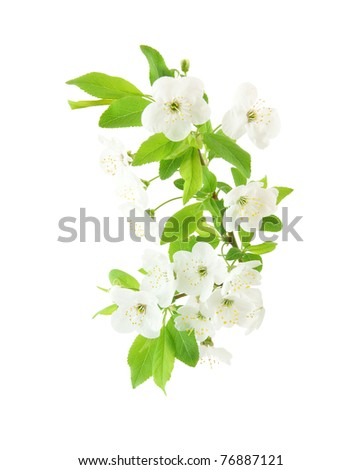 Spring cherry blossom isolated on white
