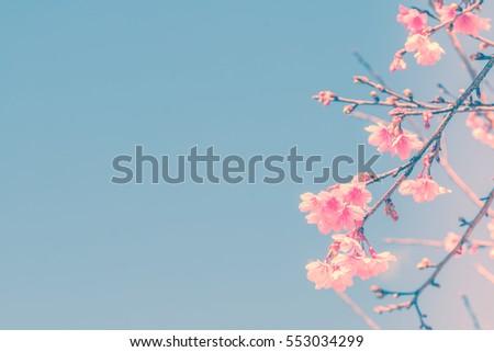 spring cherry blossom. nature...
