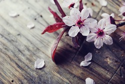 Spring cherry blossom on rustic wooden plank. Springtime flowers on vintage background.