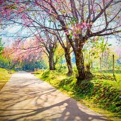 Spring Cherry Blossom Path through a beautiful road , Chiang mai , Thailand