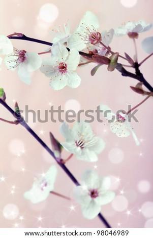 Spring cherry blossom (sakura flowers) over pink blurry background - stock photo