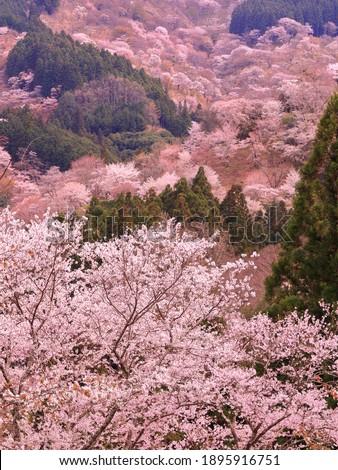 Spring Cherry Blossom Scene in Kyoto Japan Stock photo ©