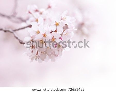 Spring cherry blossom with soft background.