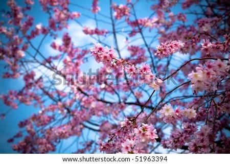 Spring Cherry Blossoms against a blue sky