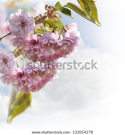 Spring Cherry Blossoms Against A Sky