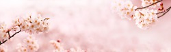 Spring Cherry blossoms in full bloom. Title header dimension image.
