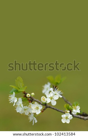Spring cherry blossoms on green background
