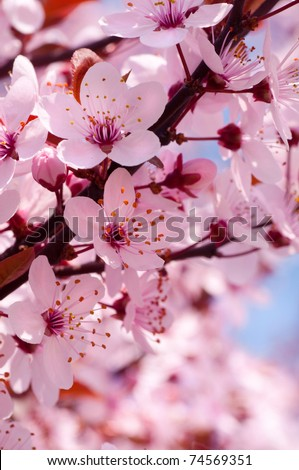Spring cherry blossoms on pink and blue background