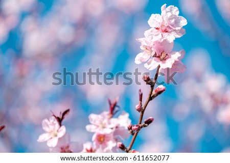 Spring Cherry blossoms, pink flowers and blue sky. - Shutterstock ID 611652077