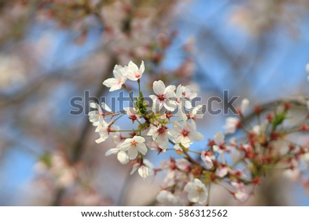 Spring cherry blossoms pink flowers japan ez canvas spring cherry blossoms pink flowers japan mightylinksfo