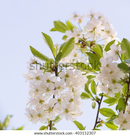 Spring Cherry Blossoms White Flowers Soft Focus Different Kind Of