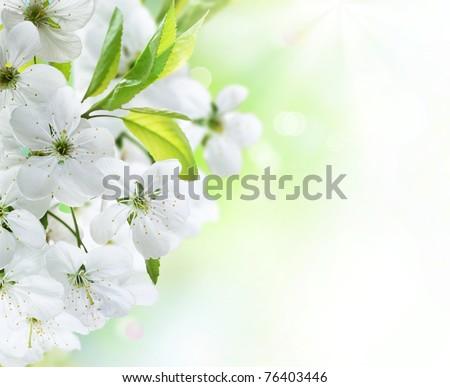 Spring Cherry Flowers.Blossom - stock photo