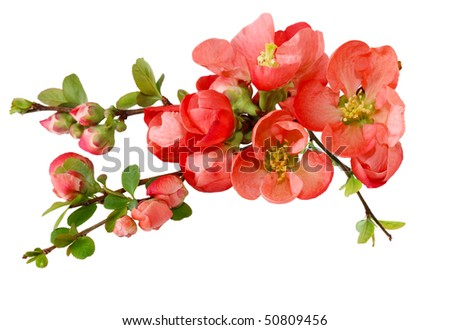 Spring cherry flowers isolated on white background - stock photo