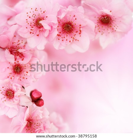 Spring cherry tree blossoms on pink background. Very shallow DOF. - stock photo