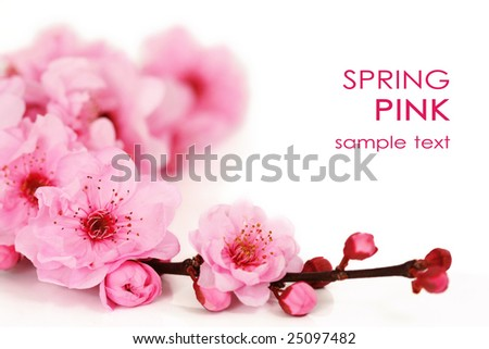 Spring cherry tree blossoms on white background.