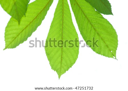 Spring chestnut leaves isolated on white