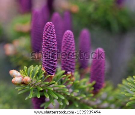 Spring - cones of Abies koreana, the Korean fir -  a species of fir native to the higher mountains of South Korea. #1395939494