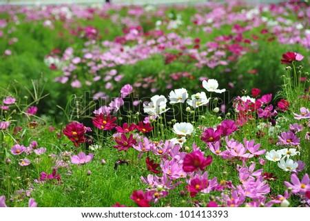 spring Cosmos flowers in blooming