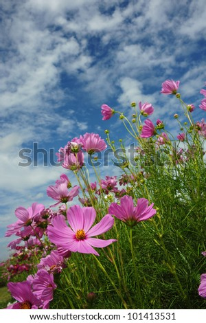 spring Cosmos flowers in blooming - stock photo