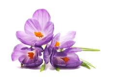 Spring Crocus flowers, close up, isolated on white background