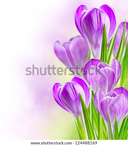 spring crocus flowers on a soft background bokeh