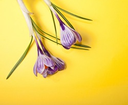 Spring crocus flowers on a yellow background