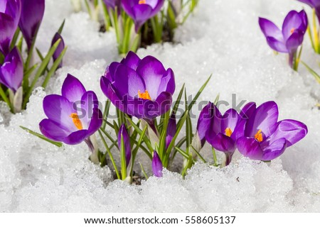 Spring crocus in the snow, lit by the sun. - Shutterstock ID 558605137