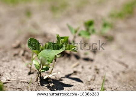 """spring crops of """"Glycine max"""" soybeans. Sprouts struggle in dry weather conditions."""