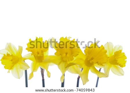 Spring daffodil flowers isolated over white background