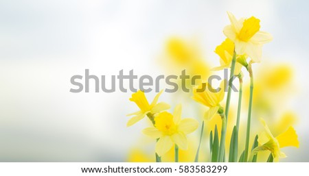 spring daffodils  in garden on...