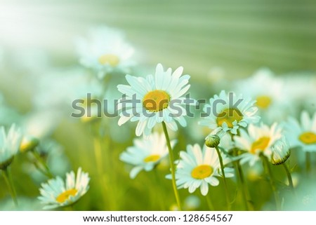 Spring Daisy bathed with sun rays