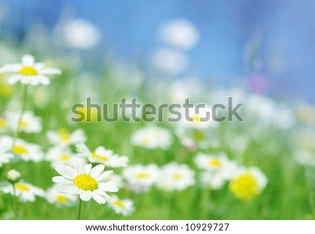 spring daisy flowers with green grass blue sky, beautiful outdoor nature scene selected depth of field