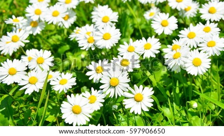 spring daisy in the meadow\n