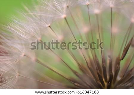 spring dandelion flower pistils macro close up on green background highlighted - Shutterstock ID 616047188