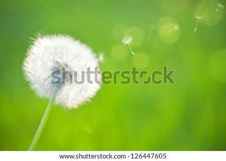 Spring dandelion on green natural background