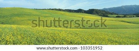 Spring Field, Mustard Seed, near Lake Casitas, California