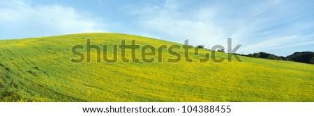 Spring Field, Mustard Seed, near Lake Casitas, California