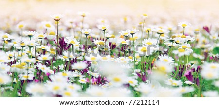 Spring field of white fresh daisies, natural panoramic landscape - stock photo