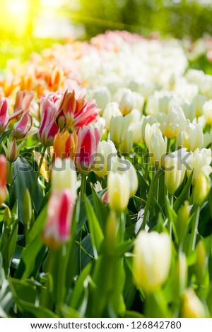 Spring field with colorful tulips