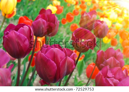 Spring field with colorful tulips in sunshine