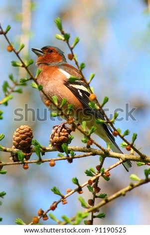 spring finch on a branch